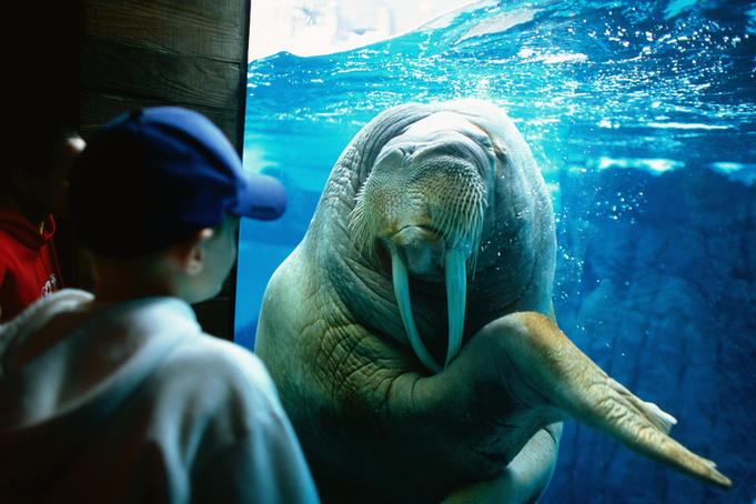 Young boy looking at walrus, Sea World.