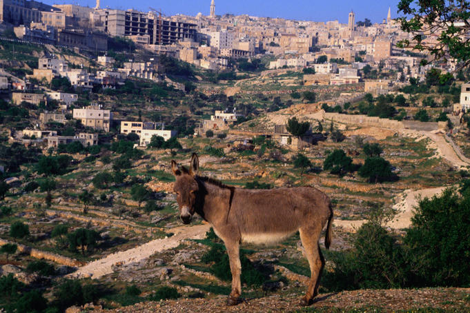 Donkey with the city of Bethlehem in the background.