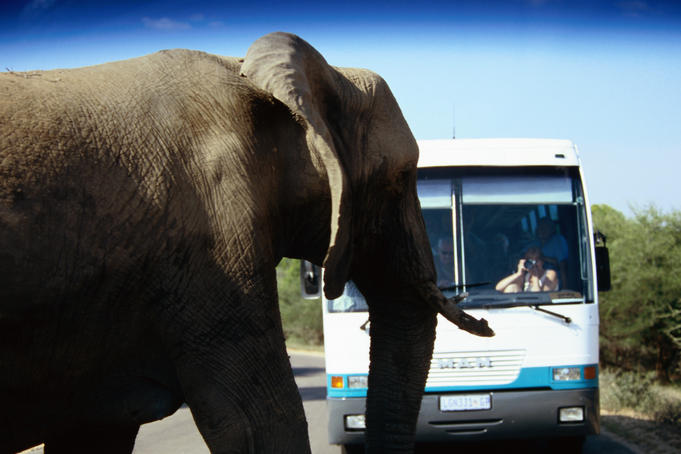Elephant on road near safari bus.