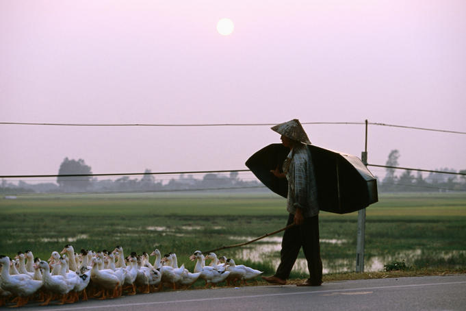 Farmer herding ducks along Hanoi-Haiphong Highway at sunset.