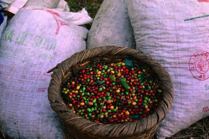 Harvested coffee beans in bags.