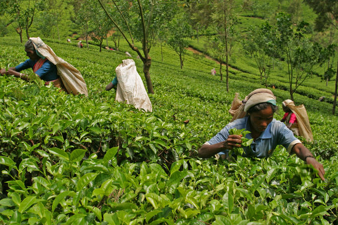 Tea pluckers at work, some still carry wicker baskets but many now use the less picturesque nylon bags, near Nuwara Eliya.