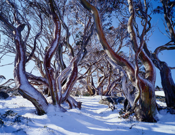 Snow gums, Charlotte Pass.