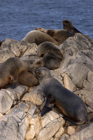 Sea lions on island in Beagle Channel.