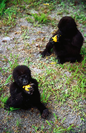 Orphaned baby lowland gorilla eating mango, Evangue Island.