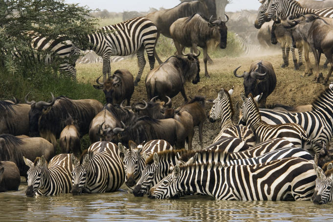 Blue wildebeest and zebra in the yearly migration drinking from lake.