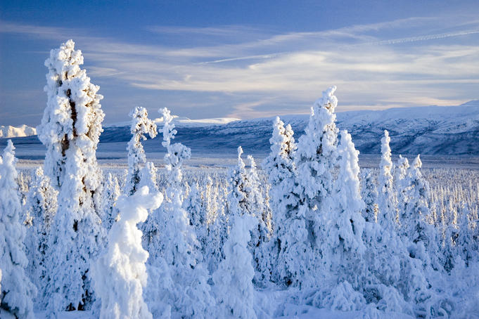 Frozen spruce forest, Chugach Mountains.