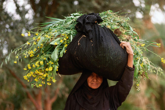 Woman carrying fodder for cattle, West Bank, Nile River.
