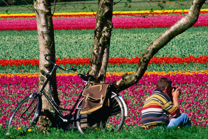 Cyclist taking photo of tulip field.