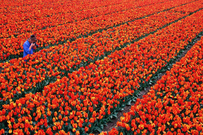 Woman taking picture of tulip fields.