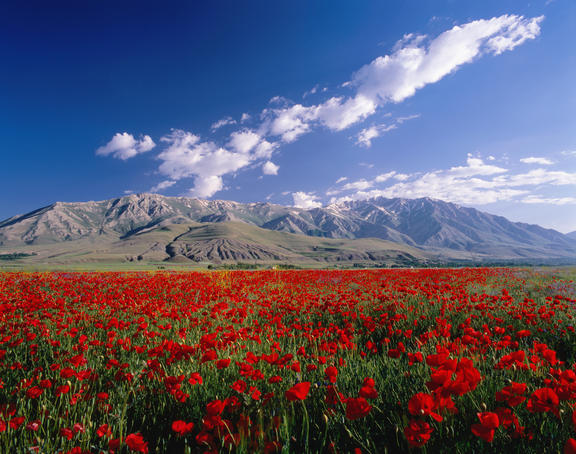 Field of flowers, around Lake Van.