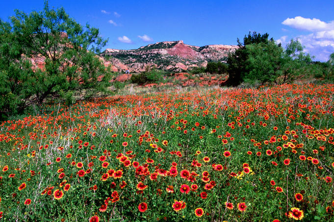 Indian Blanket wildflower meadow, Palo Duro Canyon State Park near Canyon.