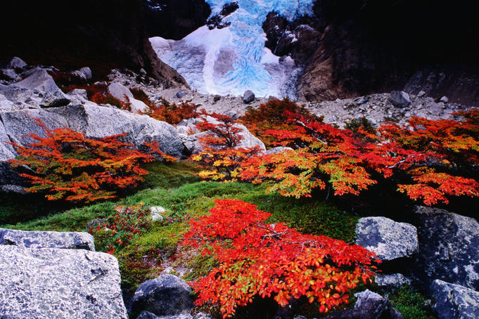 Autumnal foliage beneath the Glacier Piedras Blancas.