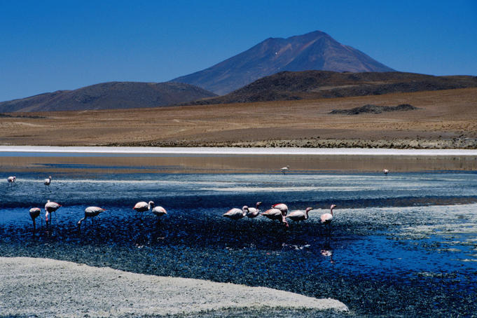 Flamingos in Laguna Canapa with Volcan Ollague in background.