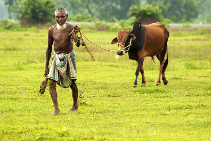 Farmer moves a cow to another spot in pasture, south of Dhaka.