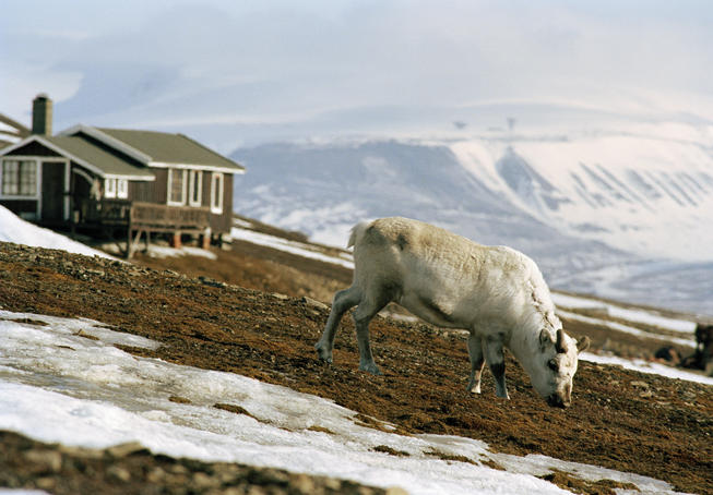 White reindeer near mountain tops.