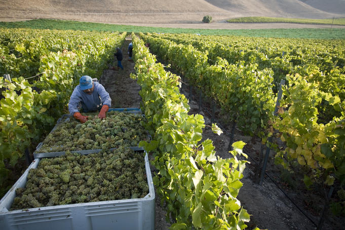 Employees harvesting grapes, Byron Vineyard and Winery.