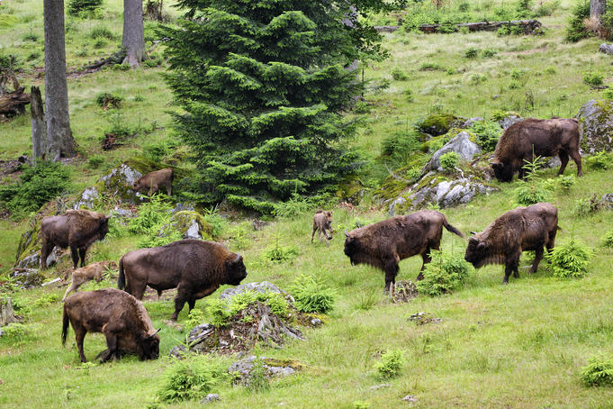 Bison grazing on a forest meadow, Bavarian Forest National Park
