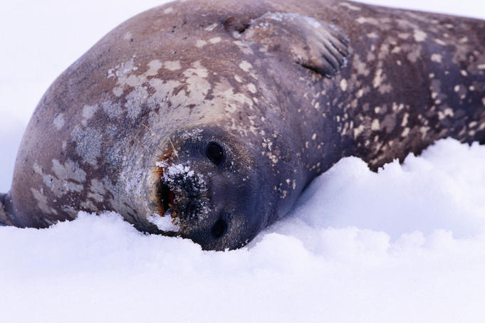 Weddell seal pup in snow at Andvord Bay, southern end of Errera Channel.