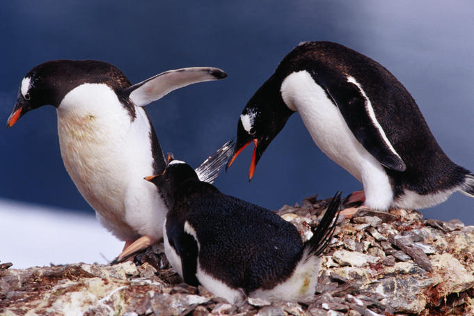 Gentoo penguins squabbling at a rookery on Danco Island.