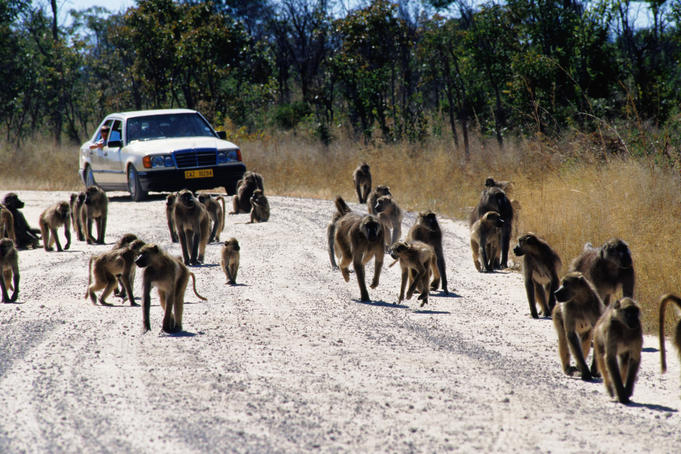 Chacma baboons walk in front of a car on the road.