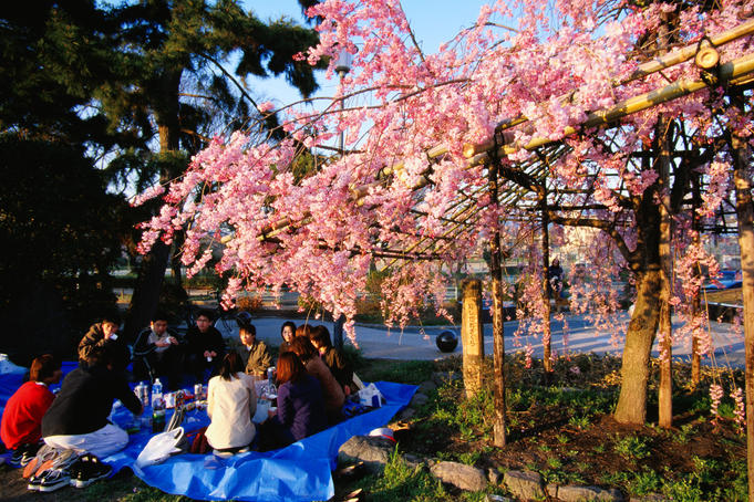 Group of students having a party under the cherry blossoms.