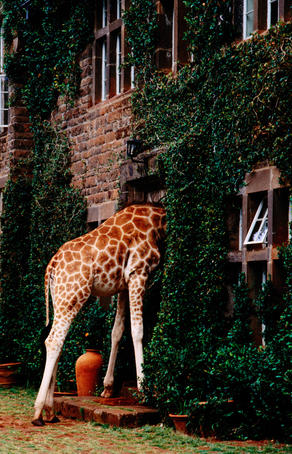 Rothschild's Giraffe looking for food, Giraffe Manor.