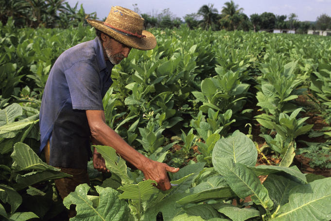 Worker in tobacco field.