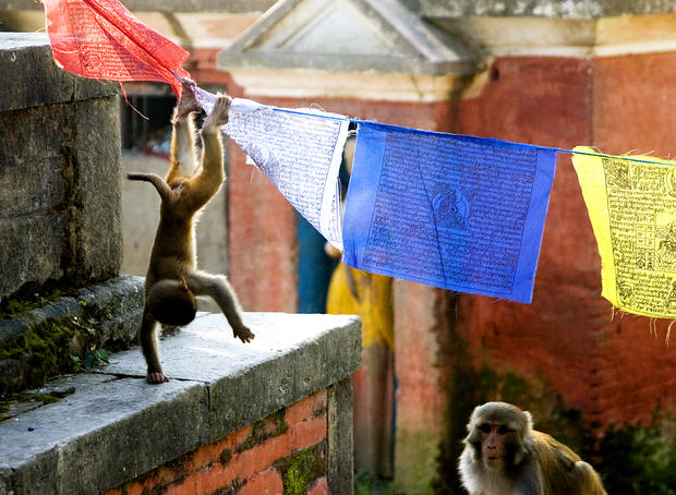 Monkeys playing on prayer flags, Swayambhunath.
