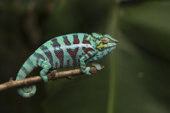 Male panther chameleon (Furcifer pardalis), Pereyras Nature Farm, near Perinet Reserve.