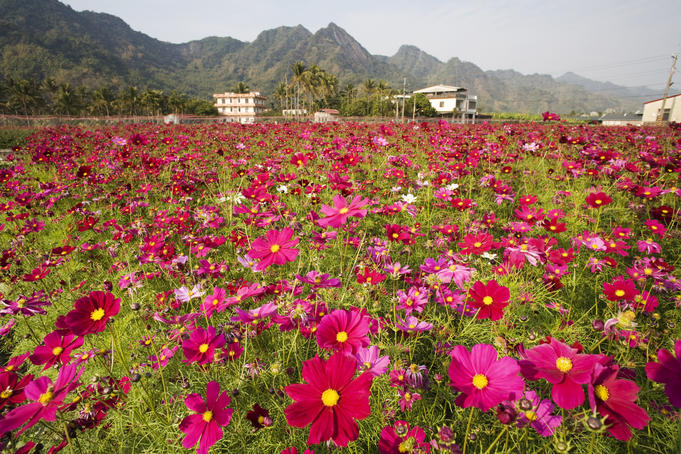 Field of flowers known as 'Cosmos' by the locals.