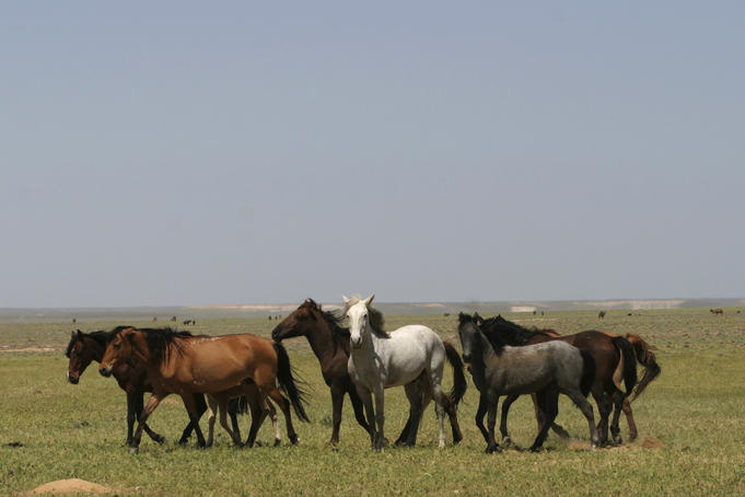 Horses grazing on plain.