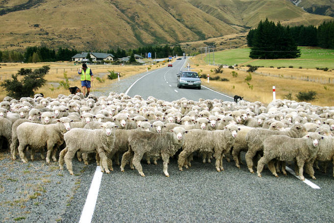 Sheep crossing road.