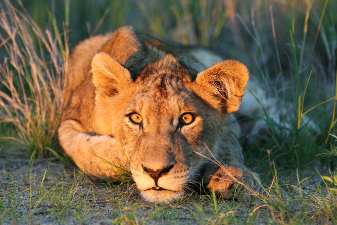 Lion cub looking in to sunset.