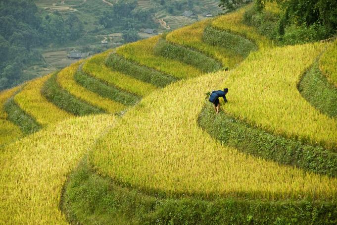 Black H'mong woman in rice field terraces near Tafen Village.