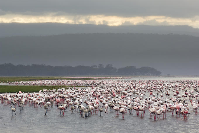 A pat of Lesser Flamingoes (Phoeniconaias minor) gathering on lake.
