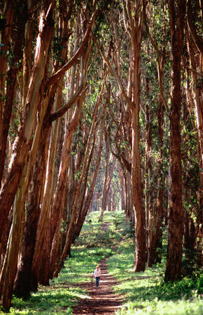 Woman walking through eucalyptus trees, the Presidio.
