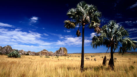 Bismarck Palm trees, grassland, Madagascar