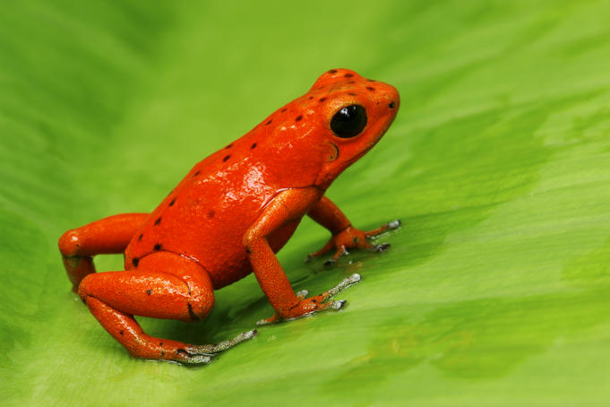 Strawberry Poison Frog (Dendrobates pumilio), Bocas del Toro Islands.