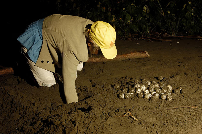 Collecting Sea Turtle eggs.
