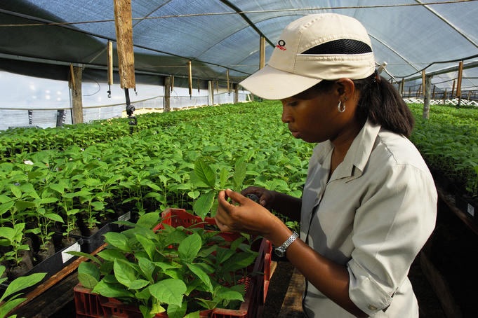 Woman working at teak tree nursery.