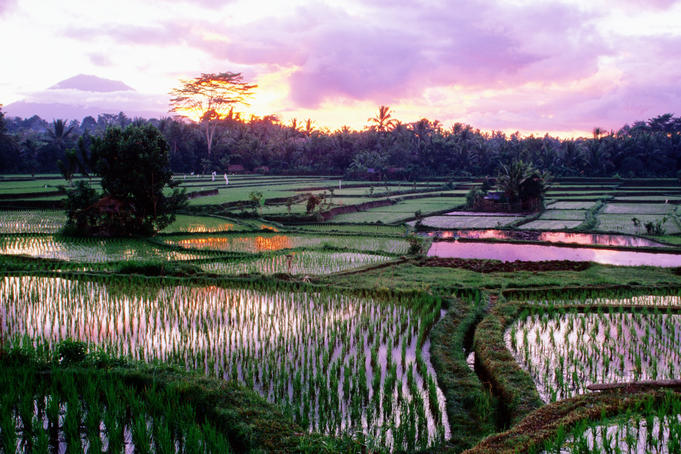 Rice paddies at sunrise with Volcano Agung in background.
