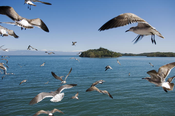 Birds flying along ferry ride between Peninsula de Nicoya and Puntarenas.
