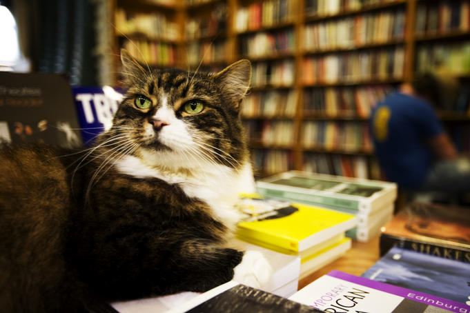 Winton the cat lies on pile of books at Gleebooks, Glebe.