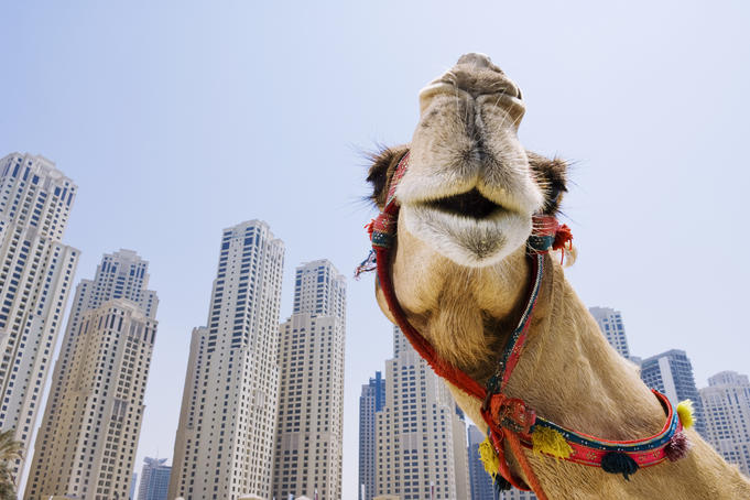 Camel on the beach in Dubai Marina, also called the 'new Dubai', with background of high-rise buildings.