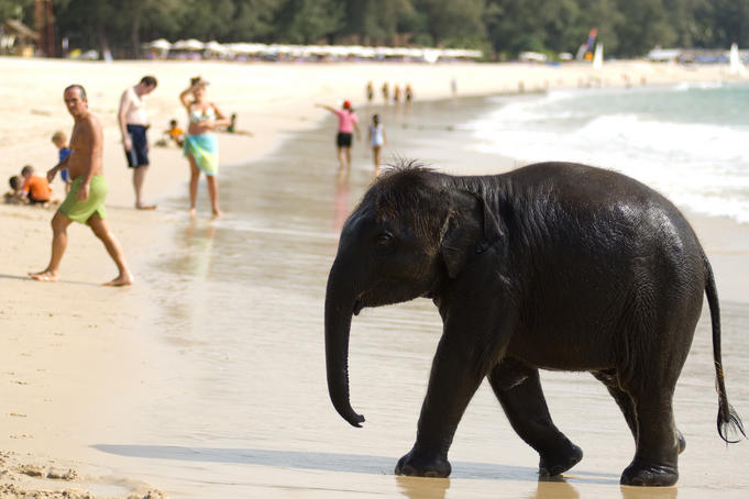 Baby elephant on beach at Ao Bang Thao.