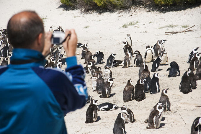 Man photographing colony of penguins at Cape Peninsula.
