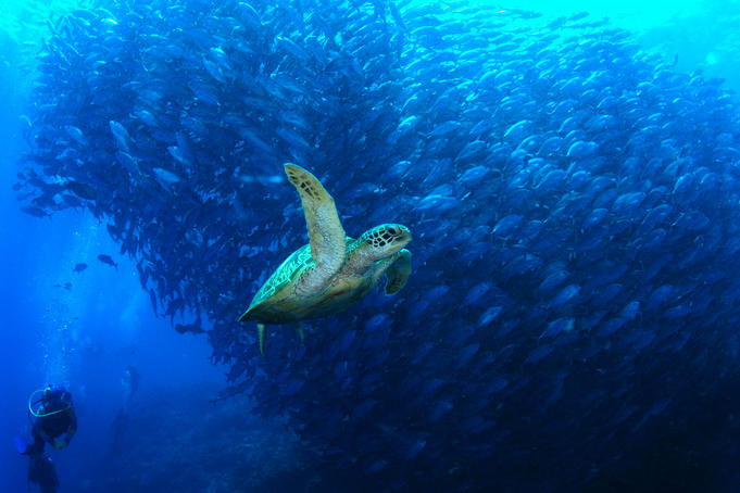 Turtle swimming by a school of fish in the reefs of Malaysian Borneo's Sipadan-Kapali-Mabul region.