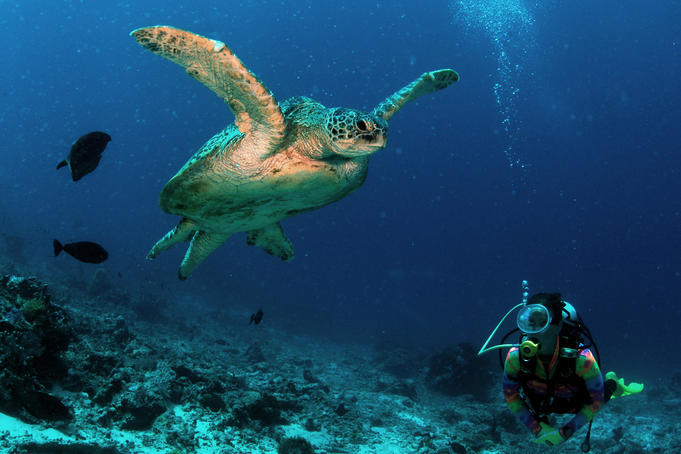 Diver watching a turtle swimming in the reefs of Malaysian Borneo's Sipadan-Kapali-Mabul region.