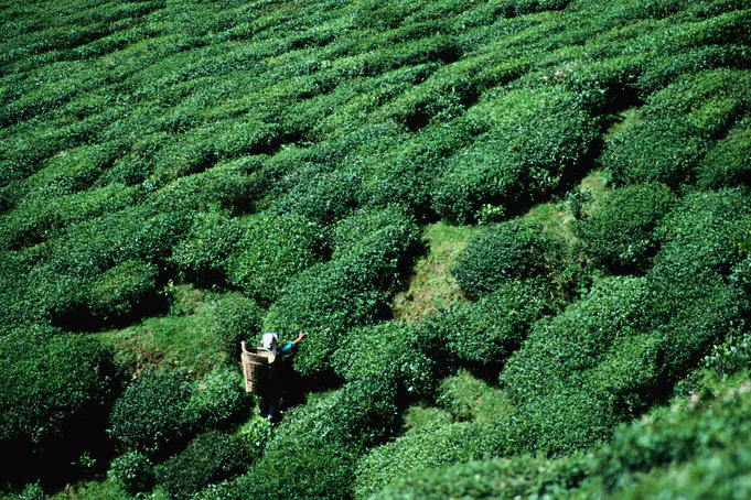 Worker picking tea on tea estate.